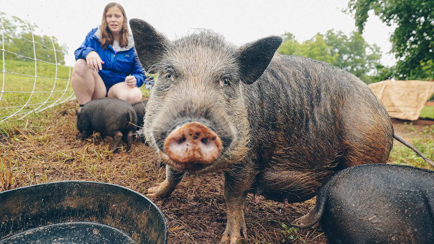 Photo of a pot belly pig with a dirty snout.