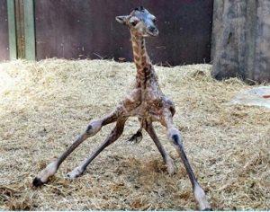 Avoid awkward giraffe shuffles!