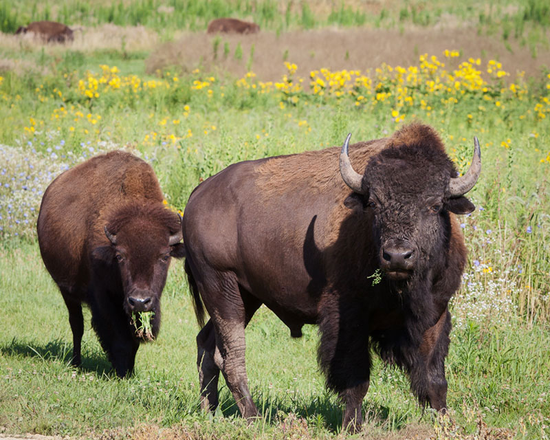 Bison grazing on the prairie