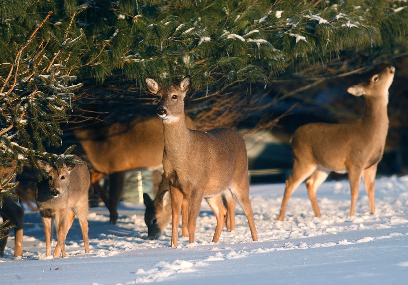 A small population of deer browse evergreens in the winter when snow cover buries vegetation on the ground.
