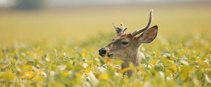 Male deer with a deformed antler sits in a soybean field.