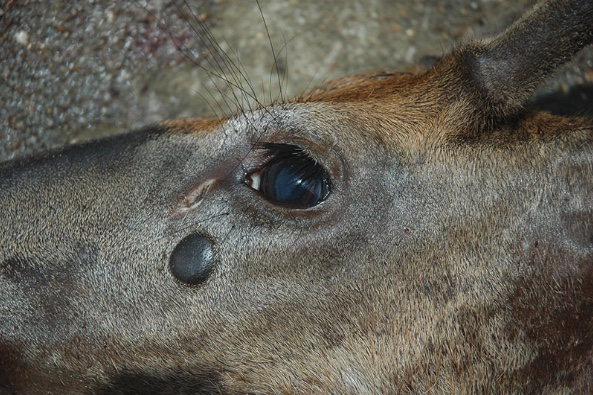 The dark, circular tumor near the deer's eye was caused by Cutaneous Fibroma.