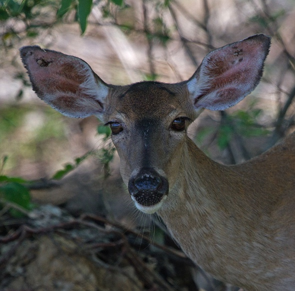 Ticks, which can be carriers of Lyme Disease, are feeding on blood in this female deer's ears. Deer can play a role in the life cycle of ticks.