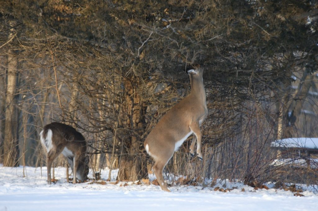 During the winter deer feed on higher vegetation. This deer is standing on its hind legs to reach vegetation not covered by the snow.