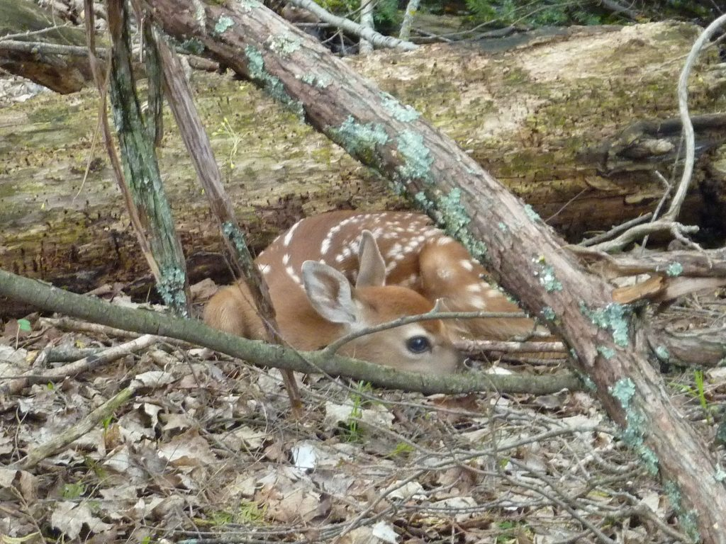 This young fawn is laying on the leaf-covered ground in a woodland. Its white spots help it to blend in with its surroundings.