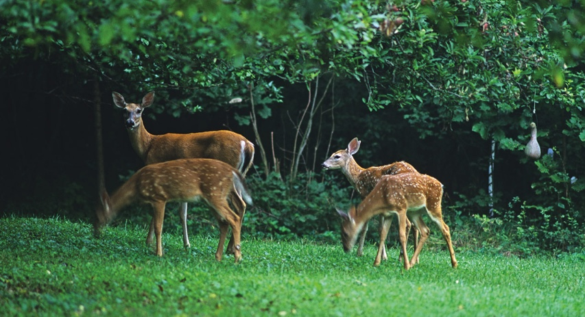 While twin fawns are common, deer sometimes have three or even four fawns per litter. Here a female deer is standing with her three fawns.
