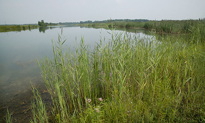A wetland or pond surrounded by grasses and vegetation.