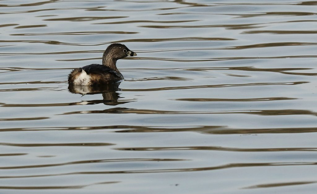 A brownish gray wetland bird, pied-billed grebe, swimming on water.
