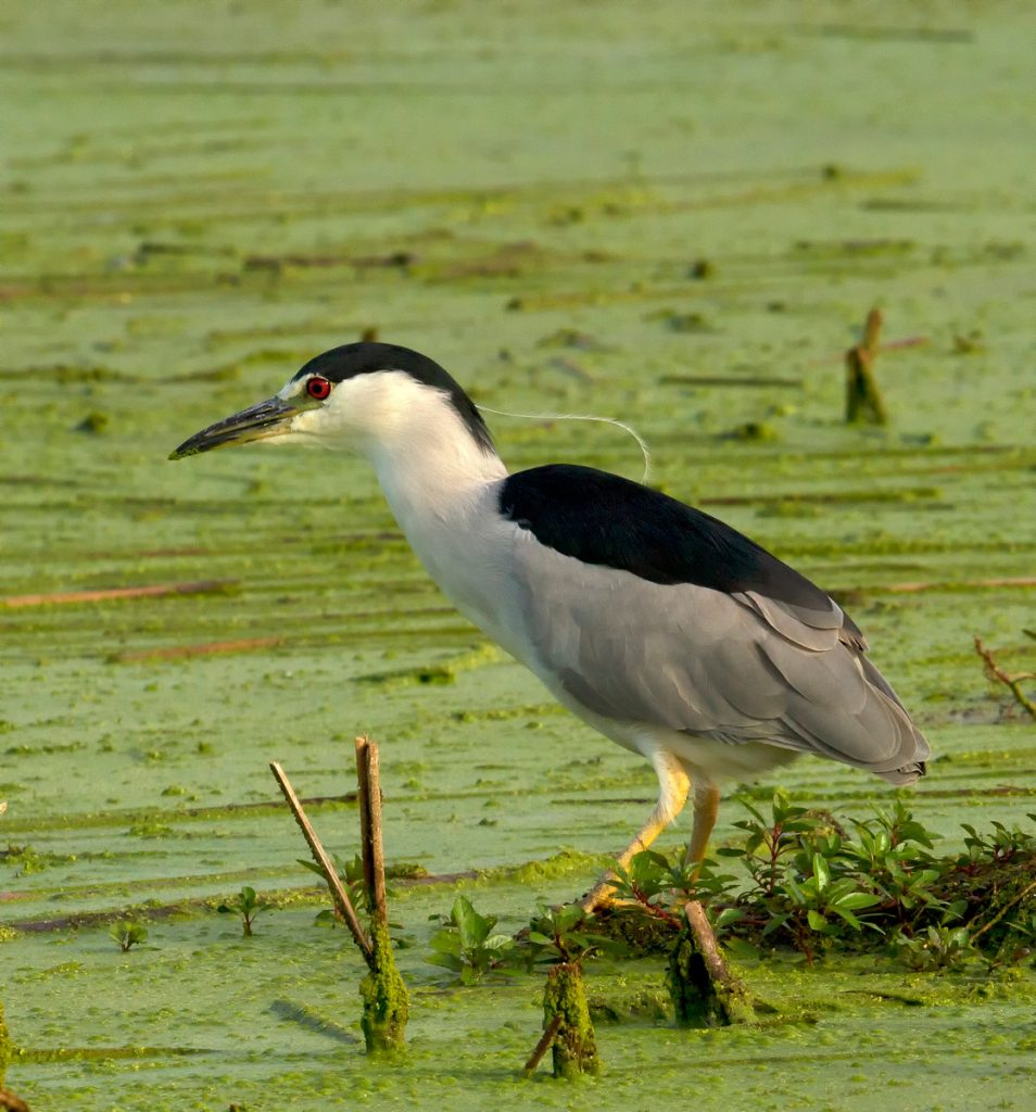 A black-crowned night-heron with a red eye, black crown, white neck and bib, black back, and gray wings and tail looks for food on a wetland.