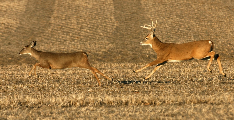 A female deer is being chased by a male deer across a harvested field during the breeding season.