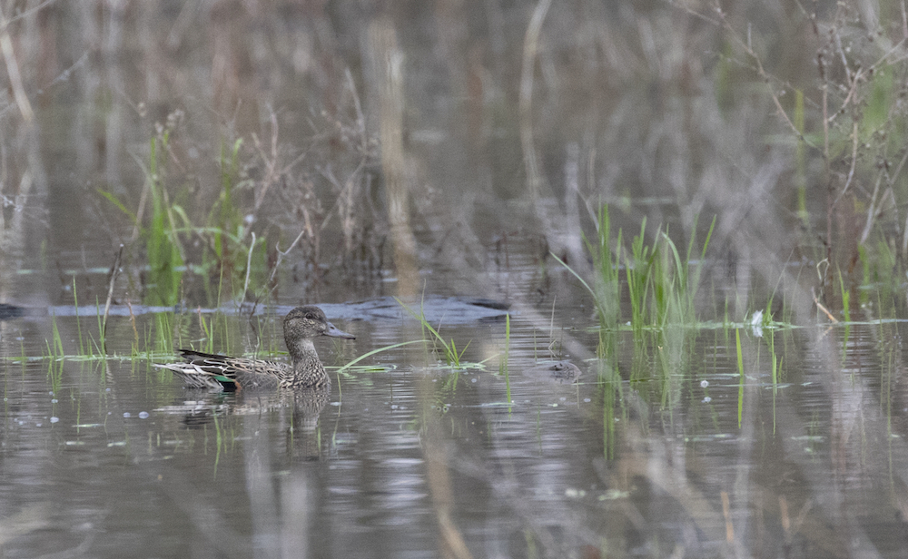A small brownish green-winged teal female duck swims amongst vegetation in a wetland.