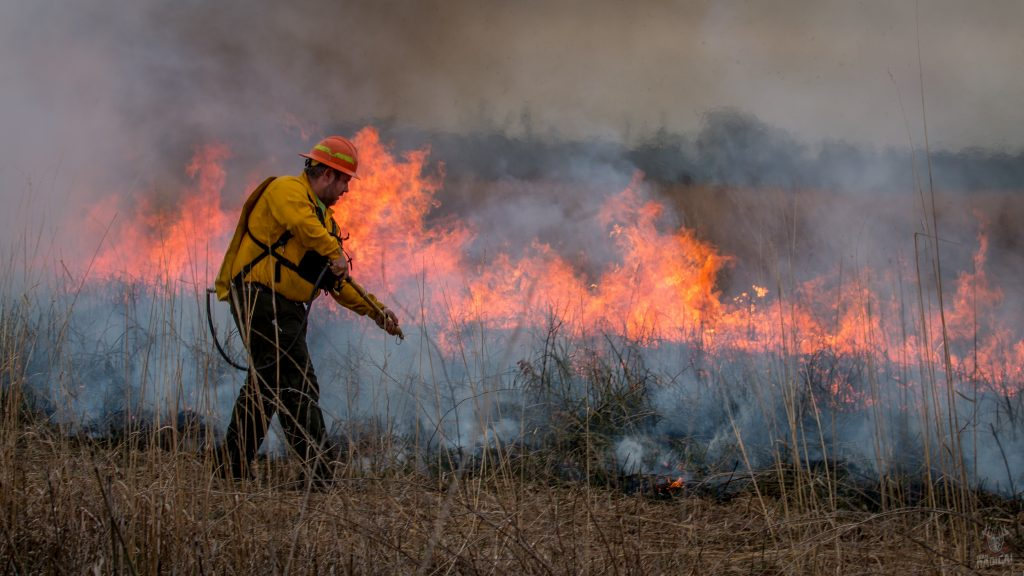 A biologist conducts a prescribed burn. He is wearing an orange hard hat, yellow fire-retardant gear, and a water sprayer backpack. He is walking in a prairie putting fire out with his sprayer along the backfire edge. There is a line of fire in the background.