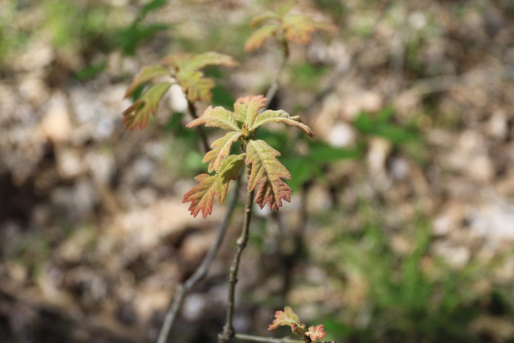 Oak tree saplings with small velvet like leaves.