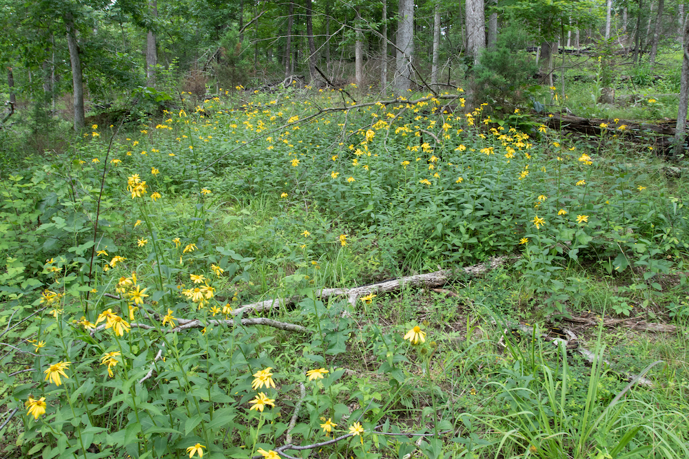 Yellow wild flowers in a woodland clearing.