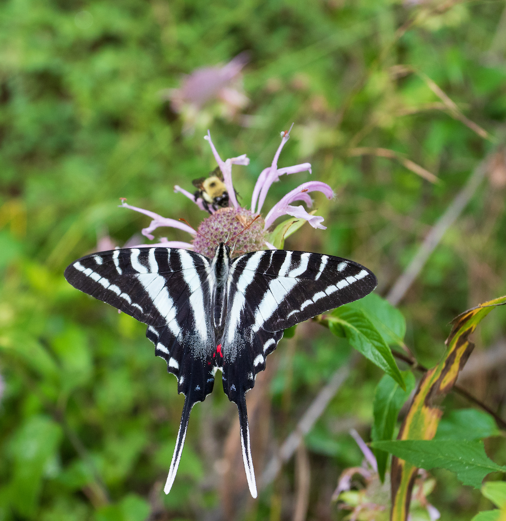 A bumble bee and a striped swallowtail butterfly drink nectar from a purple wild flower.