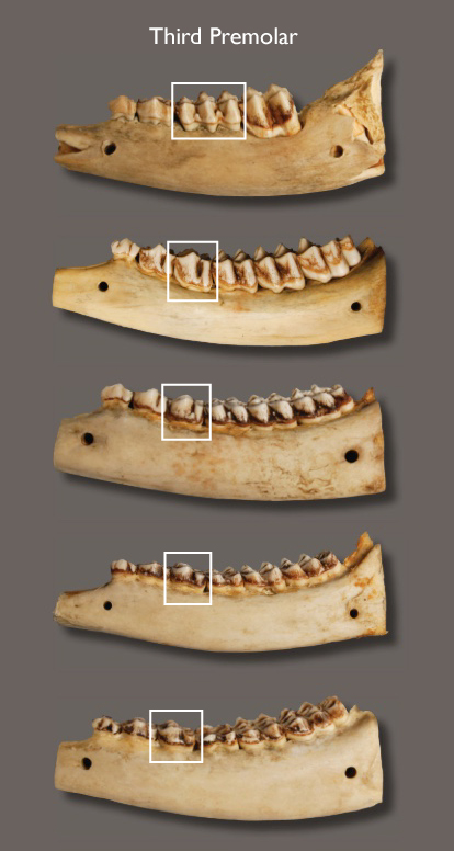 It is possible to age deer by the number and wear of their teeth. Here the ages of five deer are shown. Top to bottom: 6 months, 1½, 2½, 3½, and 4½ years of age.