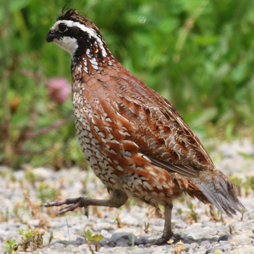 A male bobwhite quail walking along the edge of a gravel road.