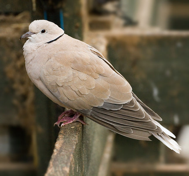 A light gray ringed turtle-dove resting.