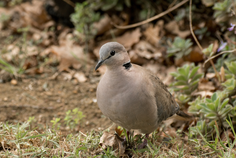 A gray collared dove walking on the ground surrounded by vegetation.