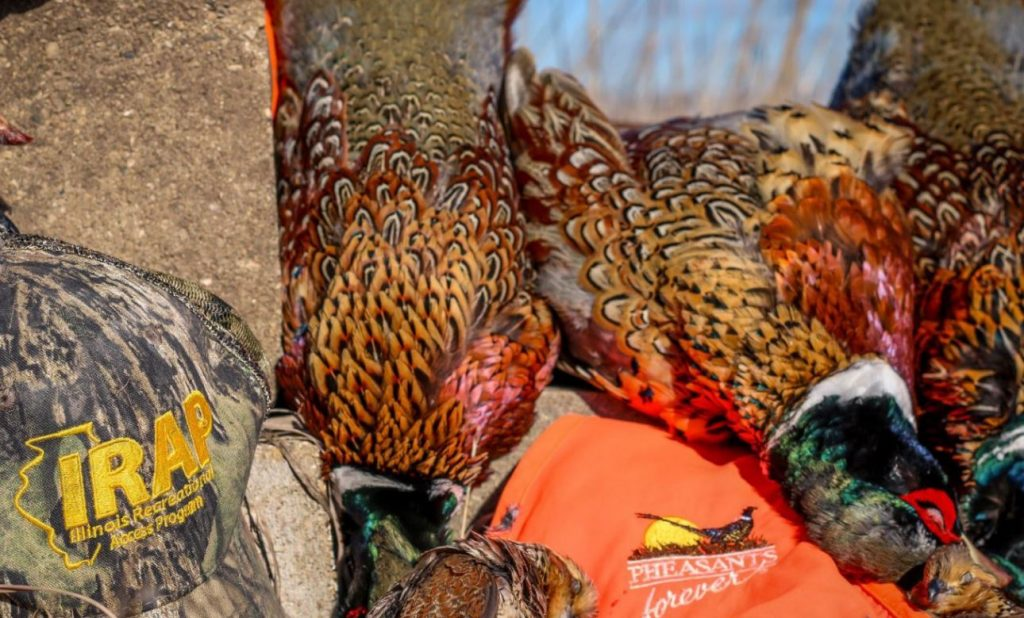 A close-up photo of with a hunting cap and blaze orange vest next to harvested male pheasants.