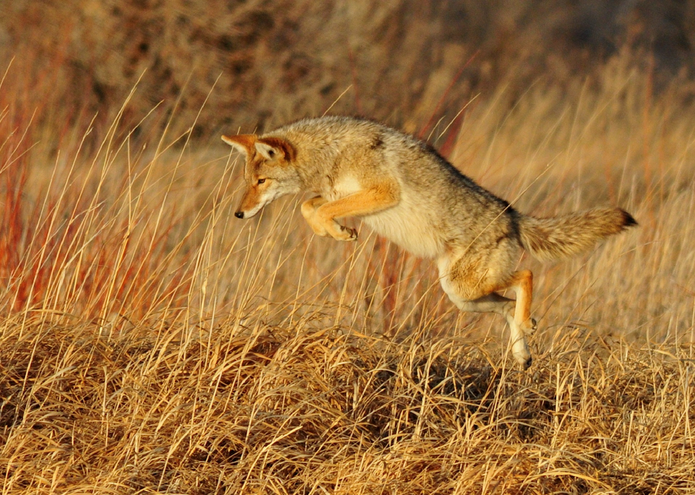 Coyote pouncing on prey in a grassland.