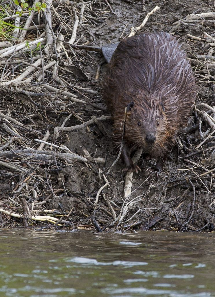 A beaver on a muddy bank of a wetland next to the water.