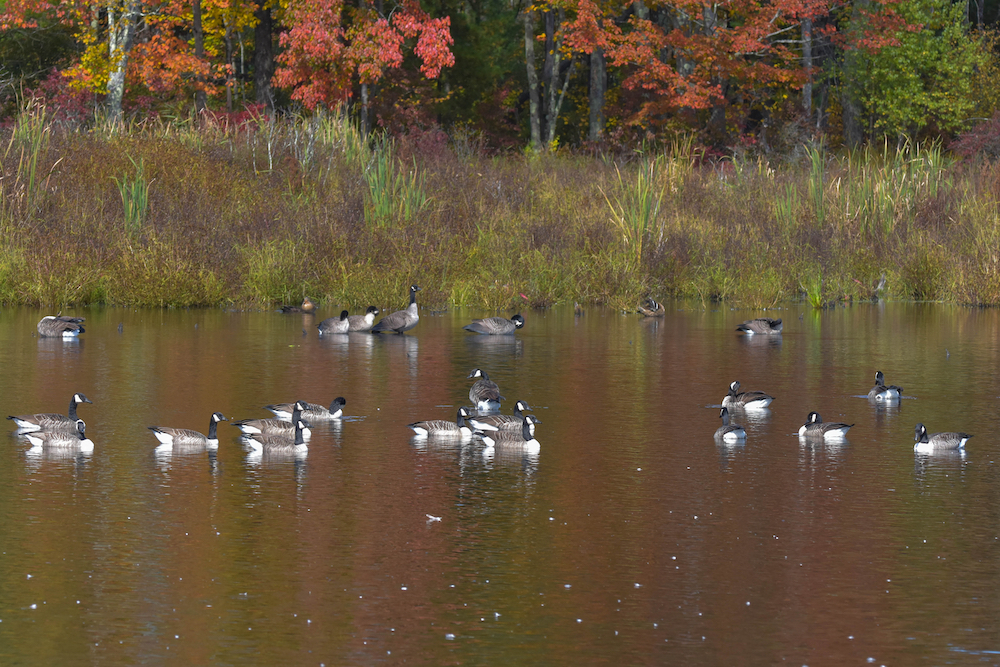 A group of Canada geese swimming on a pond near the bank with trees in the background.