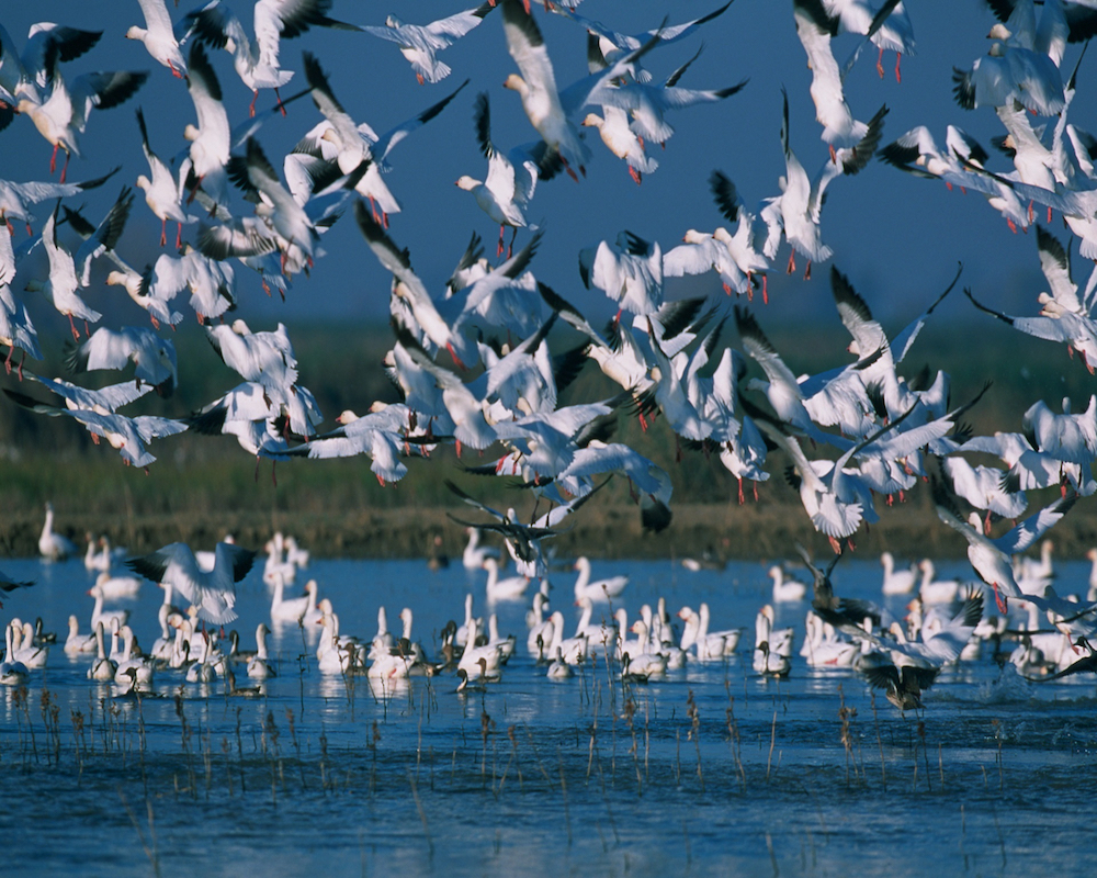 A flock of snow geese landing on a wetland.