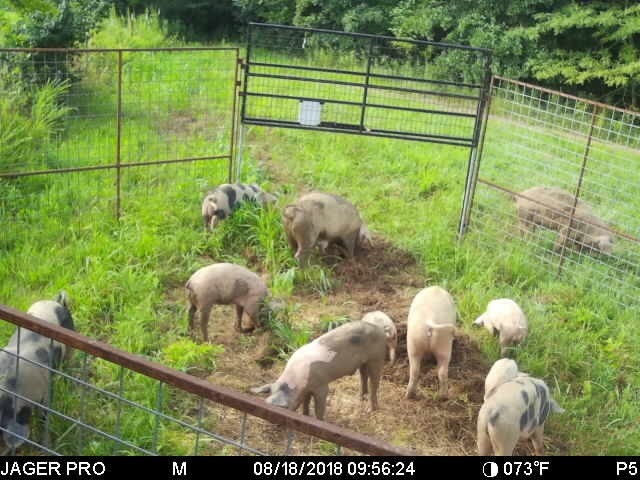 A group of feral hogs caught in a corral trap in a grassy area. Trees are in the background.