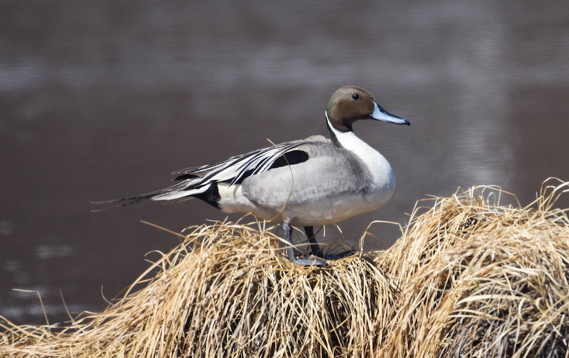 A gray and brown pintail duck standing on vegetation on a wetland.