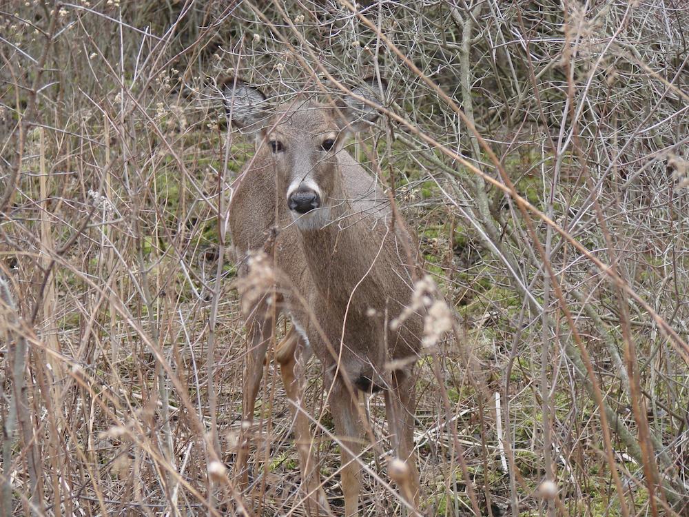 A female deer is standing among vegetation.