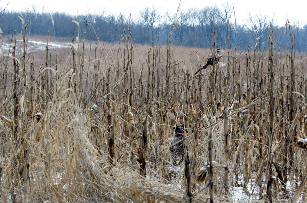 A bird dog flushes a pheasant in an agricultural field. Trees are in the background.