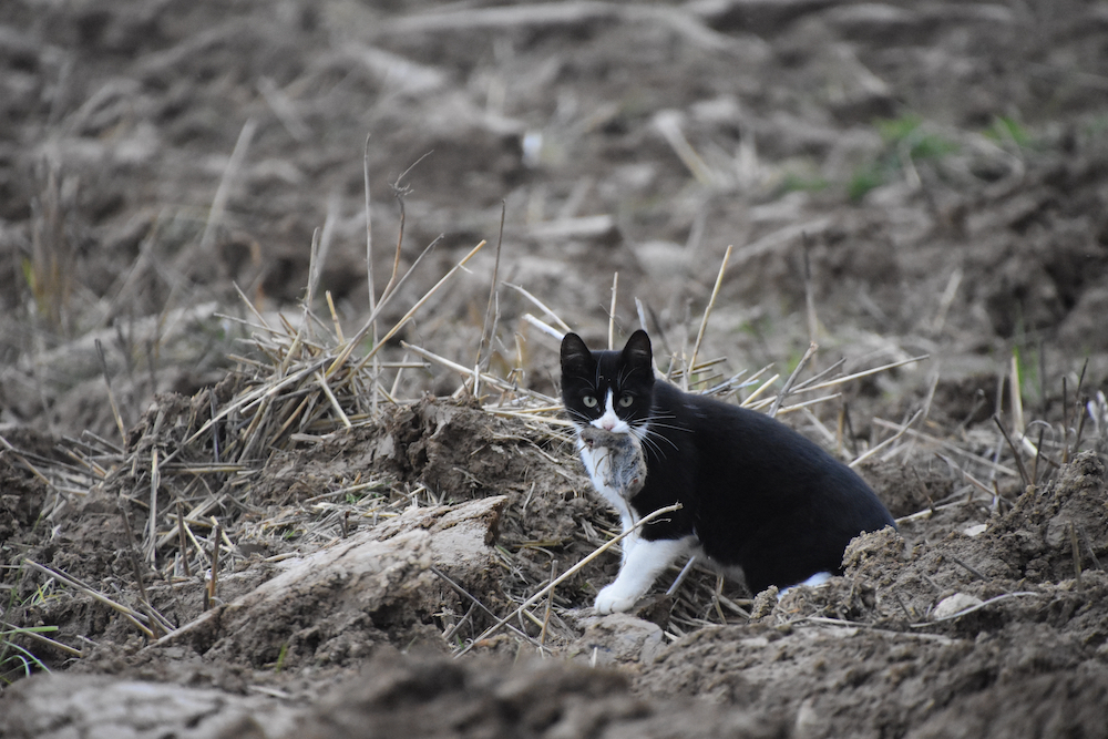 A black and white cat with a small rodent in its mouth.