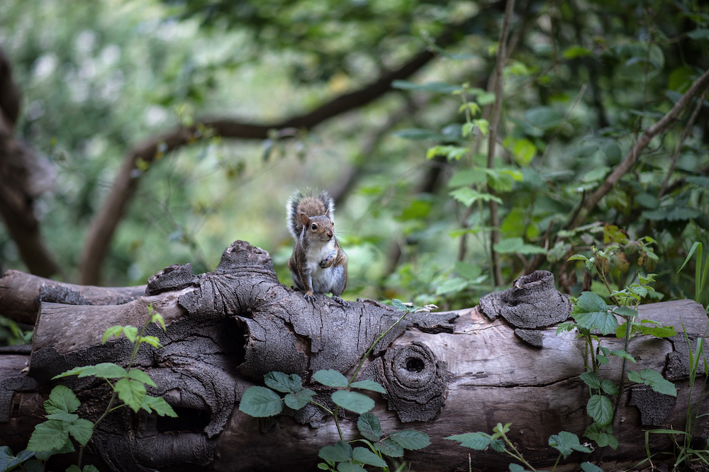 A grey squirrel perches atop a fallen log on the forest floor. Green vegetation surrounds the squirrel and log.