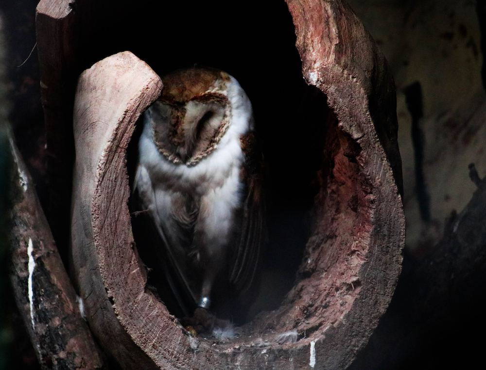 A barn owl resting in the cavity of a dead tree.