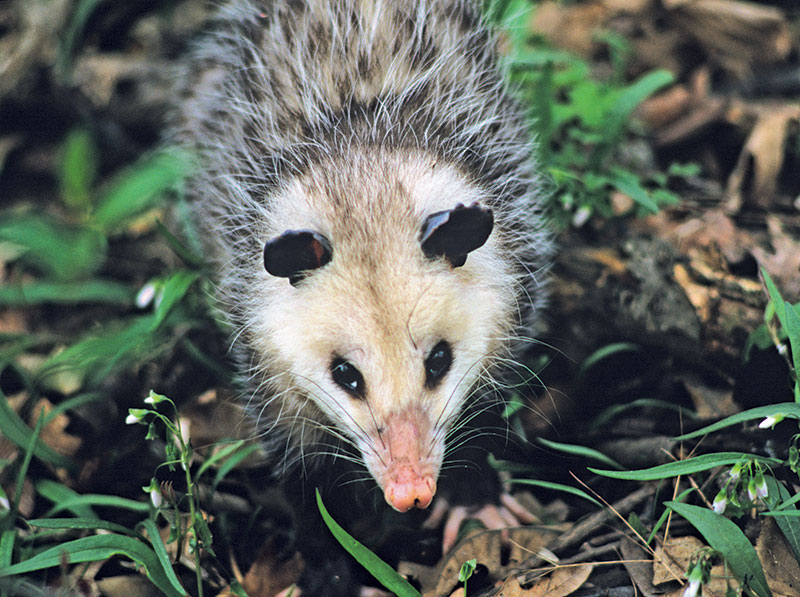 A close up of an opossum's face with dark eyes, pink nose, and gray rounded ears.