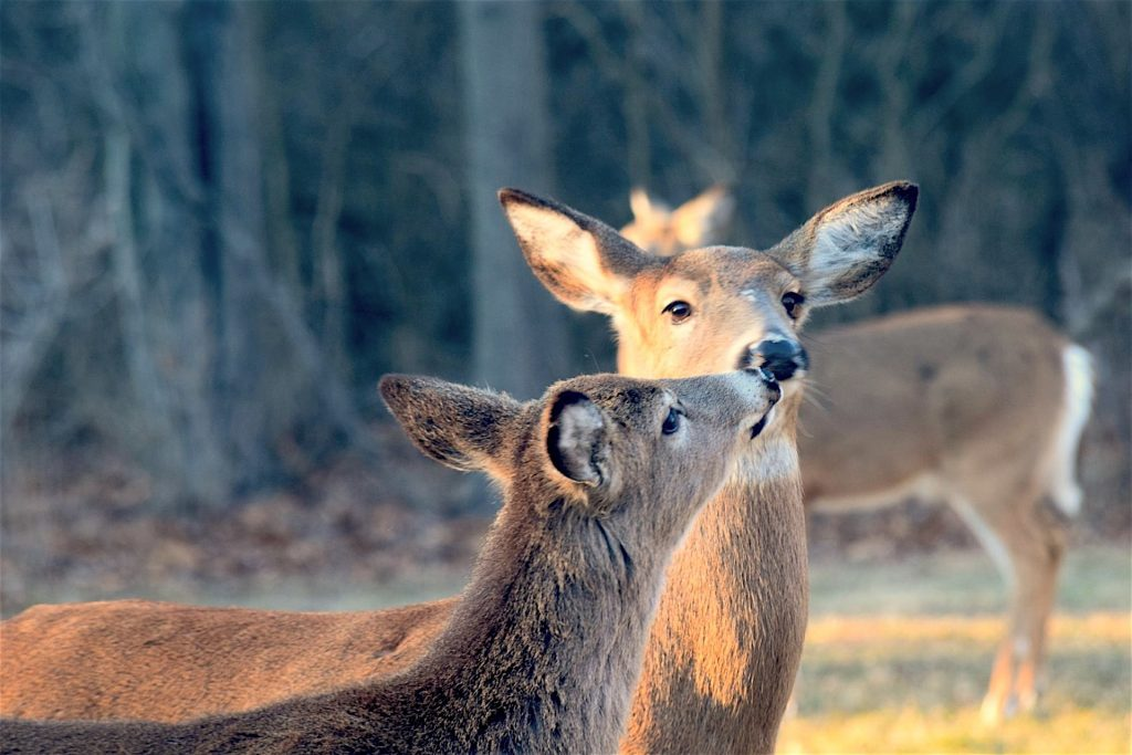 Two deer touching noses with a woodland in the background.