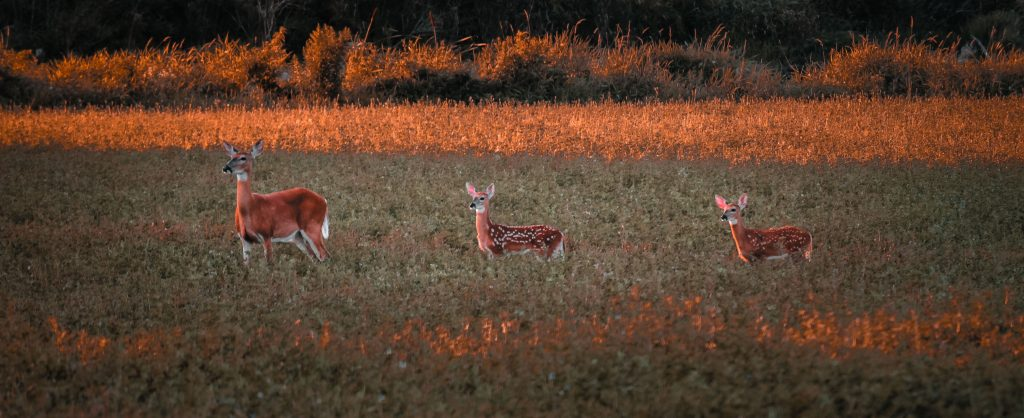 A doe deer with two fawns with spots standing behind her in an agricultural field.