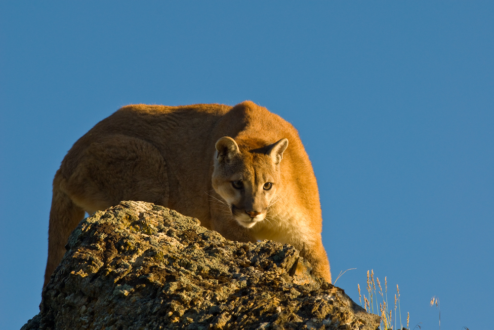 A cougar is perched on a boulder preparing to pounce. A clear blue sky is in the  background.