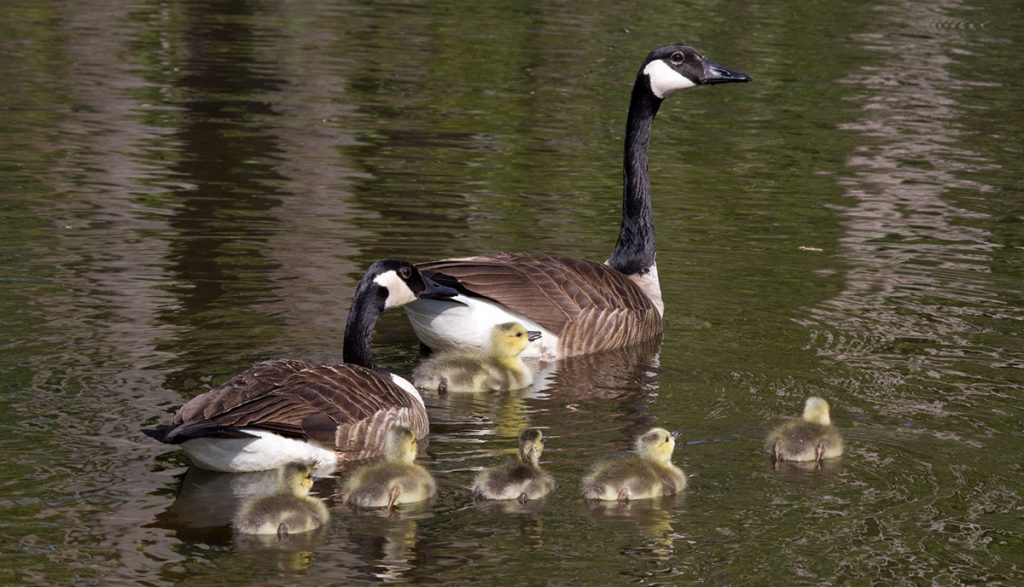 A Canada Goose family with goslings swimming in pond.