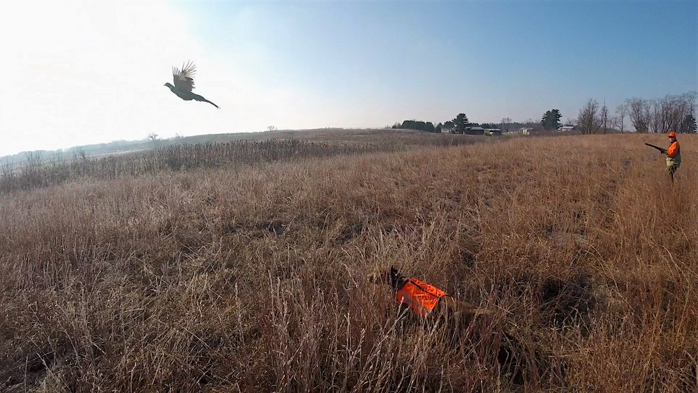 A hunter flushes a ring-necked pheasant rooster in a prairie. A hunting dog stands nearby.