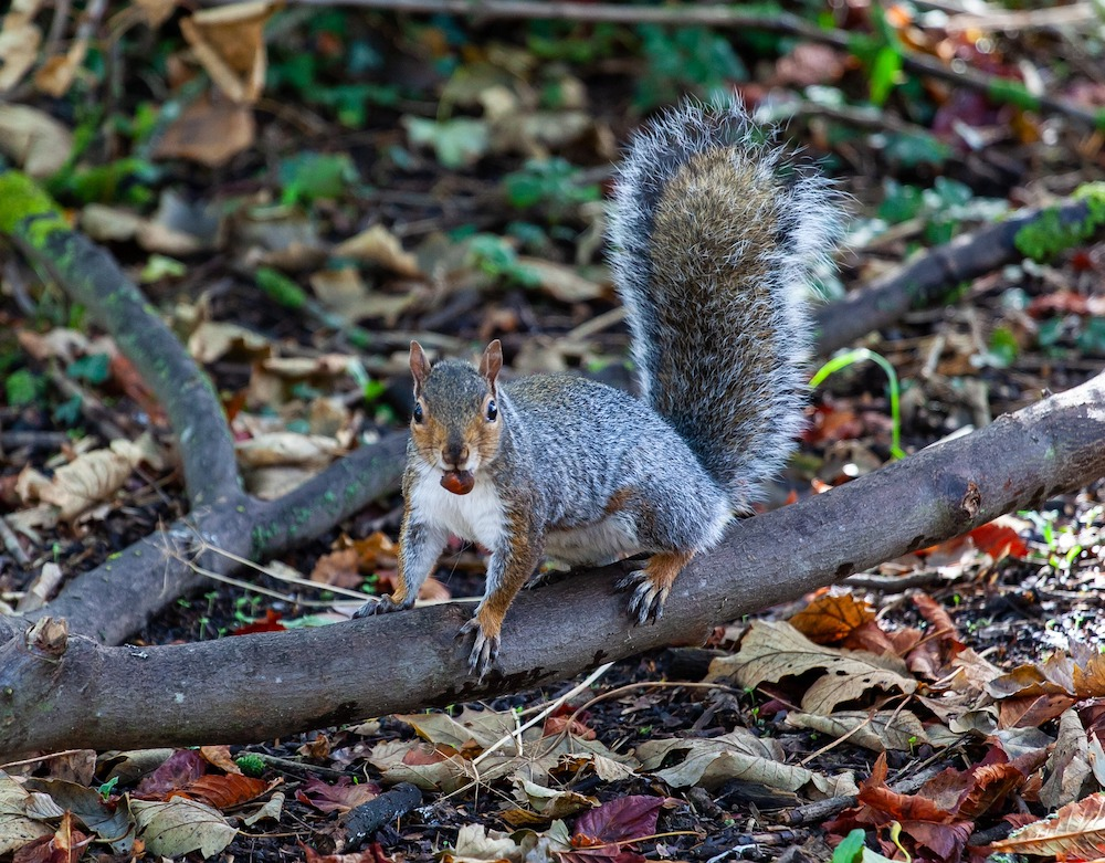 A squirrel with a nut in its mouth climbing on a fallen tree limb. Leaf litter surrounds the squirrel.