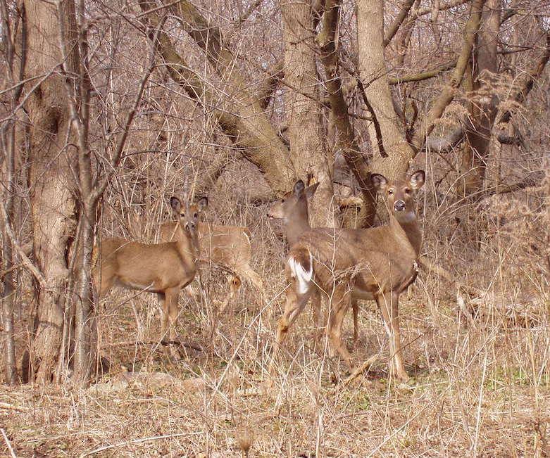 A group of deer in a forest.