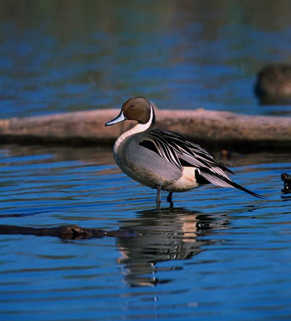 A grey, white and black duck with a brown head stands in a wetland.