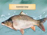 Fishing Adventures Common Carp