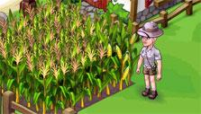 corn crops in Oasis