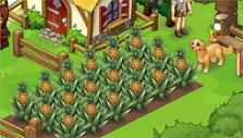 Oasis: pineapple harvest