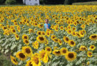 Why You Need to Visit the Sussex County Sunflower Maze This Weekend