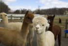 These Alpaca Farms in and Around NJ Are Worth the Trip