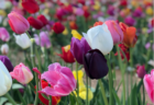 NJ's Most Popular Tulip Trail Is Now a Drive-Thru Experience